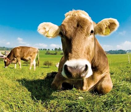 Bruxelles-autorise-le-traitement-de-viande-bovine-a-l-acide-lactique_reference