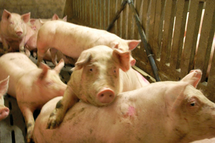 porcs-charcutiers