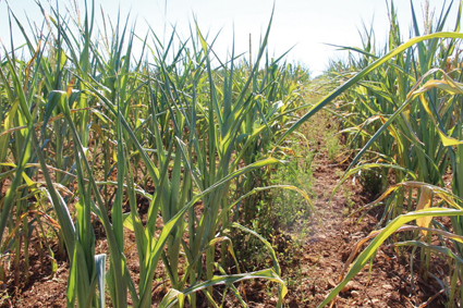 Valoriser les maïs affectés par la sècheresse de l'été 2015