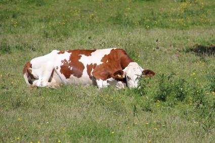 Vache couchée