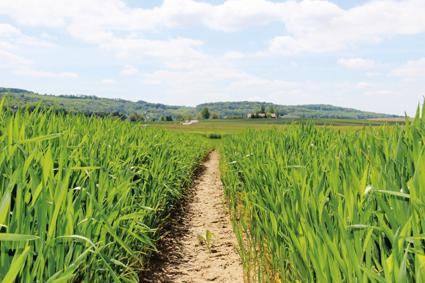 blé ou orge