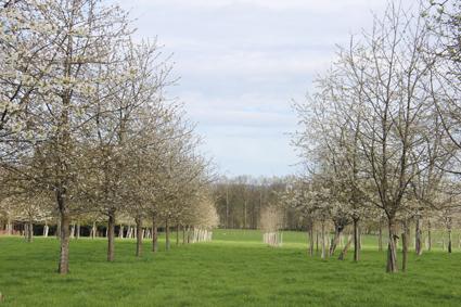 Menace sur les cerisiers
