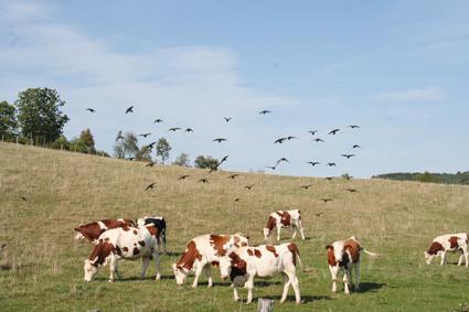 étourneaux et vaches