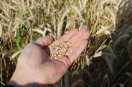 Catastrophe en blé