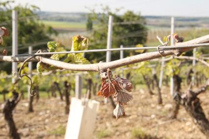 vigne gel