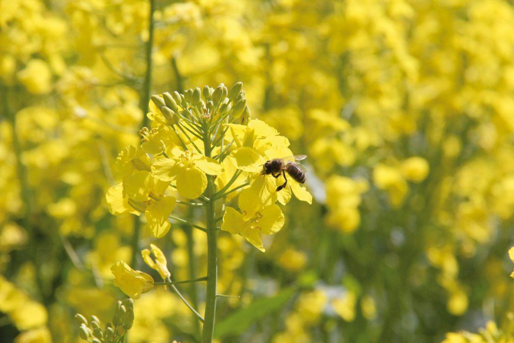 colza abeille