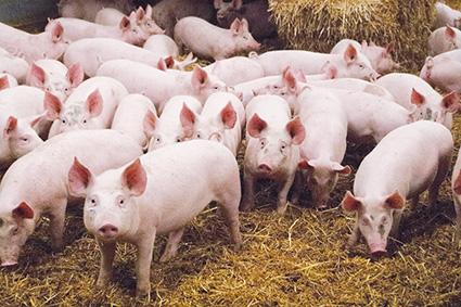 Peste porcine africaine : sur le qui-vive