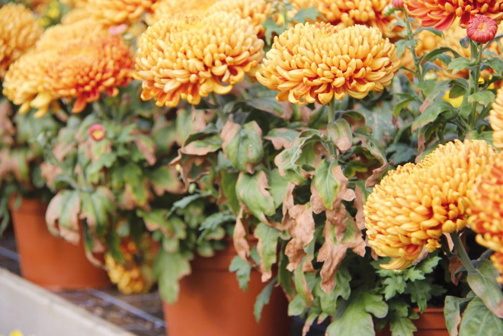 Les chrysanthèmes souffrent aussi