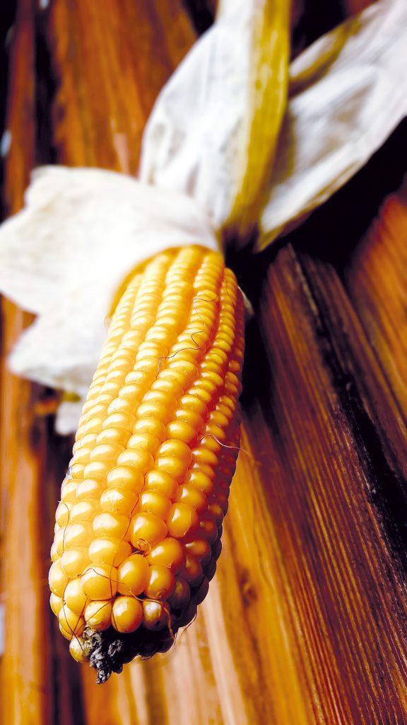 Atouts et limites des maïs population