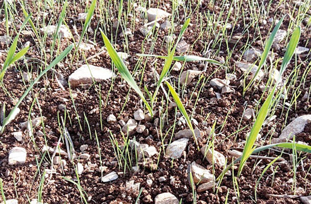 Attendre le retour des pluies pour désherber les céréales