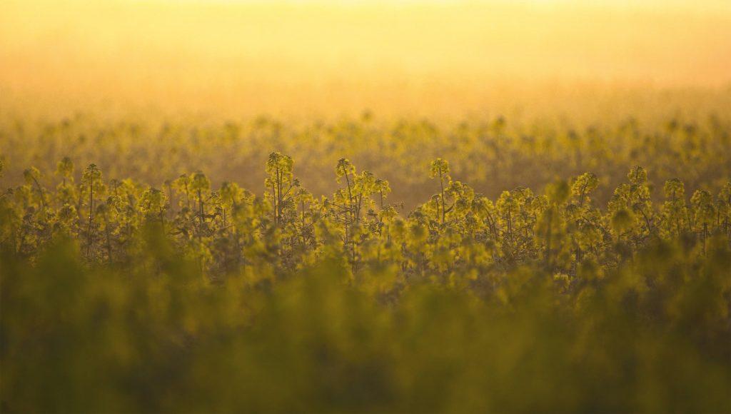 Les cours du colza rebondissent, ceux du soja plongent